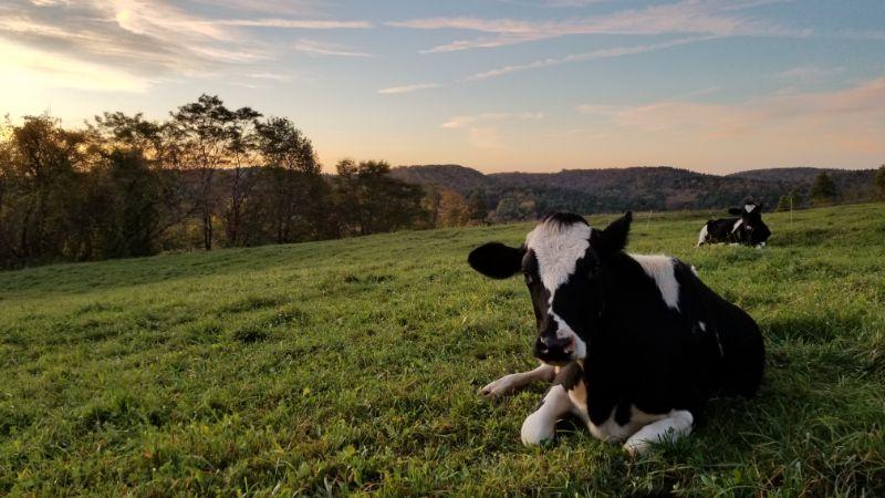 heifer laying